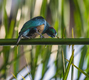 Emerald Starling Stock Photography