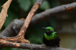 Emerald Starling op tak Stock Foto