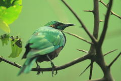 Emerald starling Royalty Free Stock Photo