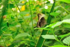 The emerald swallowtail Stock Images