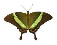 Emerald Swallowtail Royalty Free Stock Images