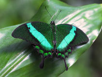 Emerald Swallowtail. Papilio palinurus - green tropical butterfly on leaf Royalty Free Stock Images