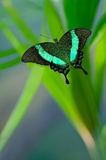 Emerald Swallowtail Butterfly Royalty Free Stock Photography