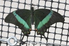 Emerald Swallowtail Butterfly royalty-vrije stock afbeelding