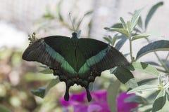 Emerald Swallowtail Butterfly stock afbeelding