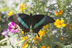 Emerald Swallowtail Butterfly stock fotografie