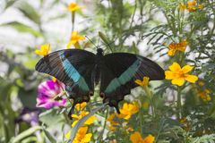 Emerald Swallowtail Butterfly stock foto's