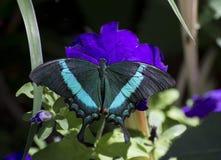 Emerald Swallowtail Butterfly stock afbeeldingen