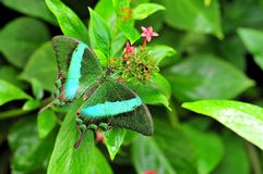 Emerald Swallowtail Butterfly royalty free stock photo