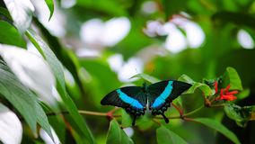 Emerald Swallowtail Butterfly Stock Image