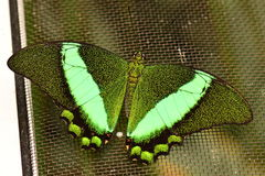 Emerald Swallowtail Butterfly Photo stock