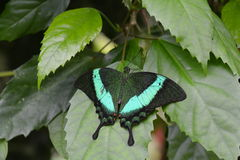 Emerald Swallowtail Butterfly Royaltyfri Bild