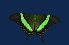 Emerald Swallowtail Butterfly. The South Asian Emerald Swallowtail butterfly  (papilio palinurus) resting on a leaf Stock Images