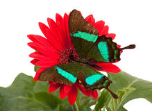 Emerald Swallowtail Butterfly Fotografia Stock Libera da Diritti