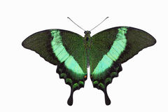 Emerald Swallowtail Butterfly Stock Photography