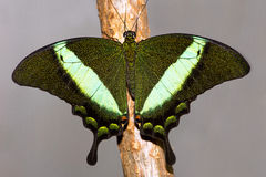 Emerald Swallowtail Butterfly Stock Photo