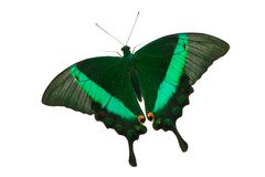 Emerald Swallowtail Butterfly. Papilio Palinurus isolated on white background royalty free stock photography