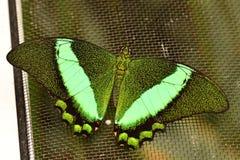 Emerald Swallowtail butterfly Stock Photo