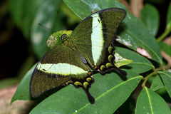Emerald Swallowtail Butterfly Stock Images