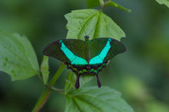 Emerald Swallowtail Butterfly on a leaf Royalty Free Stock Image