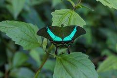 Emerald Swallowtail Butterfly på ett blad arkivbilder