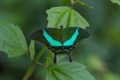 Emerald Swallowtail Butterfly på ett blad royaltyfri bild