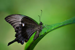 Emerald Swallowtail butterfly, papilio palinurus Stock Images
