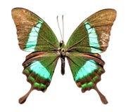 Emerald Swallowtail Butterfly. Papilio palinurus royalty free stock image