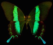 Emerald Swallowtail Butterfly Stock Photos