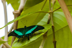 Emerald Swallowtail Butterfly. Resting on a leaf stock photography