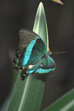 Emerald Swallowtail Butterfly splendido che sta scintillando Immagine Stock Libera da Diritti