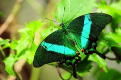 Emerald Swallowtail Butterfly (Upper side) Royalty Free Stock Photography