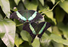 Emerald Swallowtail; Emerald Peacock; of groen-Gestreepte Pauw Royalty-vrije Stock Foto's