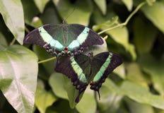 Emerald Swallowtail; Emerald Peacock; oder Grün-mit einem Band versehener Pfau Lizenzfreie Stockfotos