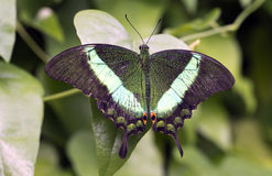 Emerald Swallowtail, Emerald Peacock, ou paon Vert-réuni Photo stock