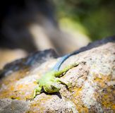 Emerald Swift Lizard stock images