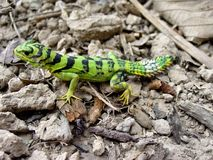 Emerald thornytail iguana, Uracentron azureum werneri royalty free stock images