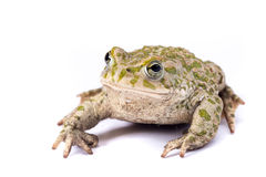 Emerald toad Stock Photography