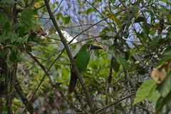 Emerald Toucan Stock Image