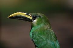 Emerald Toucanet Royalty Free Stock Photo