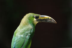 Emerald Toucanet stock photo