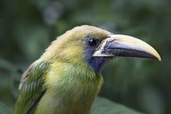 Emerald Toucanet Fotos de archivo libres de regalías