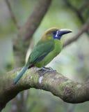 Emerald Toucanet Imagenes de archivo