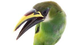 Emerald Toucanet royalty free stock photos