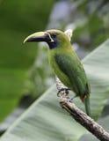 Emerald Toucanet (Aulacorhynchus prasinus) Royalty Free Stock Photo