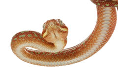 Emerald tree boa Royalty Free Stock Images