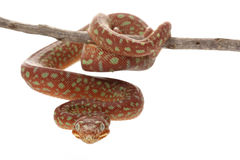 Emerald tree boa Stock Photography