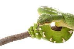 Emerald tree boa Stock Image