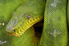Emerald Tree Boa. The Emerald Tree Boa / Corallus caninus is a large arboreal boa species from the Amazon rainforest. It is a specialized bird catcher with royalty free stock images