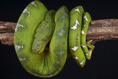 Emerald Tree Boa. The Emerald Tree Boa / Corallus caninus is a large arboreal boa species from the Amazon rainforest. It is a specialized bird catcher with stock photo